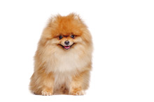 Smiling Red Long Haired Pomeranian Spitz