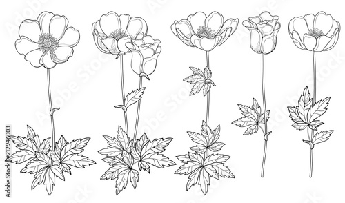 Canvas Print Vector set of hand drawing outline Anemone flower or Windflower, bud and leaf in black isolated on white background