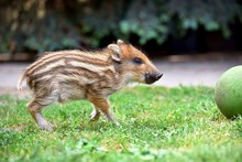 Baby Pig Playing