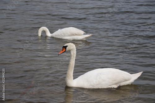 Deurstickers Zwaan swan, bird, water, lake, white, nature, animal, swans, wildlife, birds, beautiful, love, graceful, reflection, river, beauty, blue, pond, swimming, swim, feather, elegance, feathers, couple, animals
