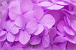 canvas print picture - Pink Hydrangea background. Hortensia flowers surface.