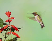 Male Ruby-throated Hummingbird Hovering At Red Flower