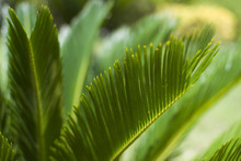 Background With Leaf Of Cycas (macro)