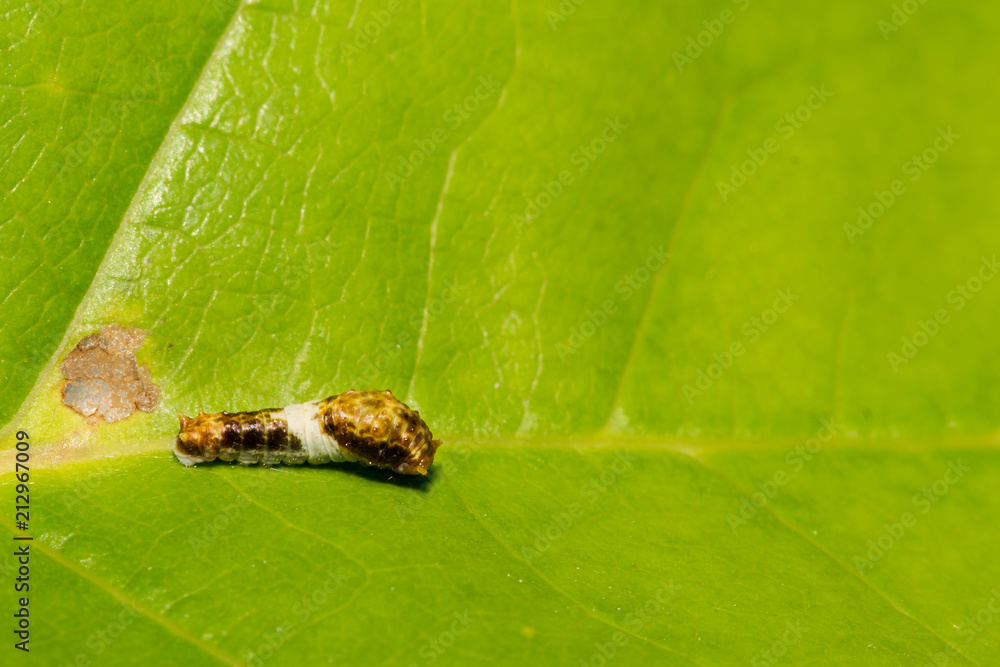 Eastern Tiger Swallowtail Caterpillar (Papilio glaucus)