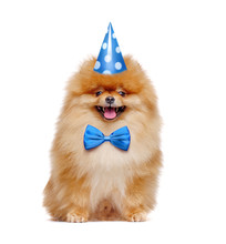 Pretty Red Pomeranian Spitz Wearing Birthday Outfit