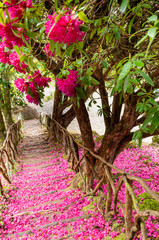 Obraz na SzkleThe staircase taken along the path is covered by the pink and purple petals fallen from the laurel in bloom