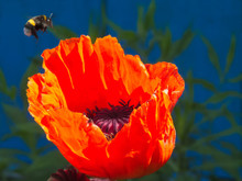 Red Poppy Flower With Flying B...