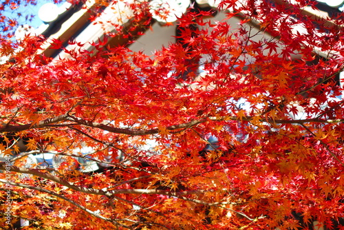 Foto op Plexiglas Rood traf. 紅葉の境内の風景35