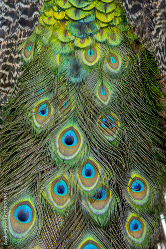 Foto op Aluminium Pauw Beautiful Peacock feathers for background (Indian peafowl)
