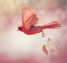 Northern Cardinal Flying  ,wat...