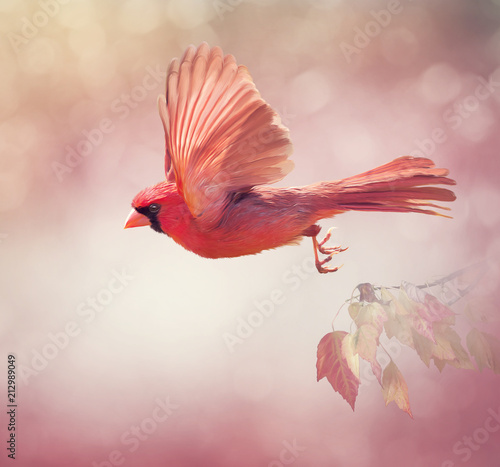 Leinwand Poster Northern Cardinal Flying  ,watercolor painting