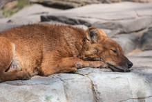Dhole Sleeping With Tongue Sticking Out