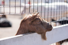 Brown Goat Sticking Head Thoug...