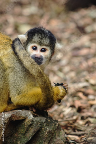 Foto op Canvas Aap Close up image of a Squirrel Monkey