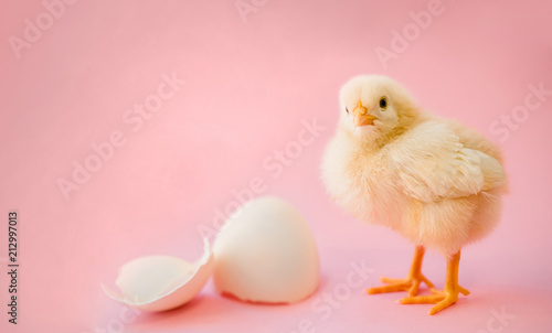 Vászonkép Newborn yellow chicken and broken eggs.