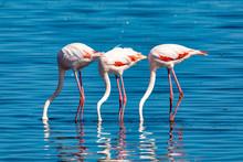 Rosy Flamingo Colony In Walvis...