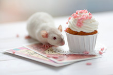 Cute Little Baby Rat With A Creamy Sweet Cupcake Decorated With A Rose Chocolate