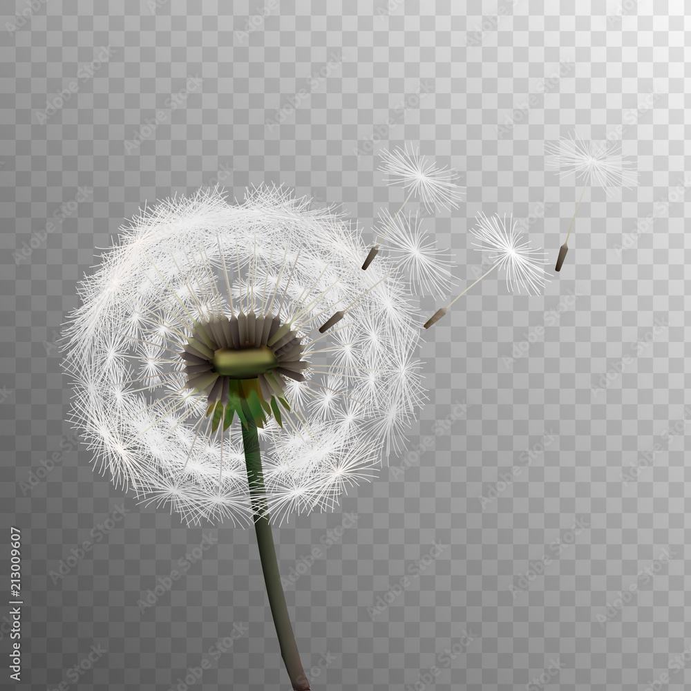 Fototapety, obrazy: Stock vector illustration realistic dandelions isolated on a transparent background. Seed. EPS10