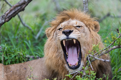 Staande foto Leeuw Lion Roar