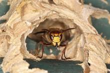 Hornet (Vespa Crabro), Worker ...