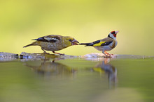 Hawfinch (Coccothraustes Cocco...