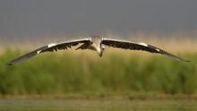 Grey Heron (Ardea Cinerea), Adult In Flight In Front Of Reeds, Kiskunsag National Park, Hungary, Europe