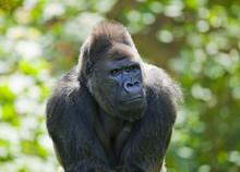 Western Lowland Gorilla (Gorilla Gorilla Gorilla), Male, Captive, Saxony, Germany, Europe