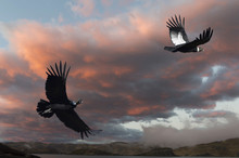 Andean Condors (Vultur Gryphus) In Flight, Torres Del Paine National Park, Chilean Patagonia, Chile, South America