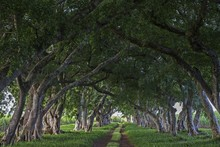 Avenue With Old Trees, Tree-lined Avenue In Mahebourg, Mauritius, Africa
