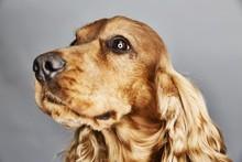 Dog, English Cocker Spaniel, Portrait, Germany, Europe