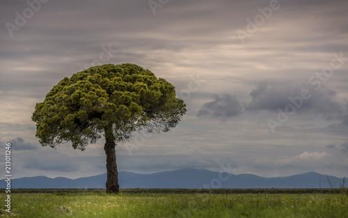 Foto op Canvas Mediterraans Europa Solitary Italian Stone Pine (Pinus pinea), Tuscany, Italy, Europe