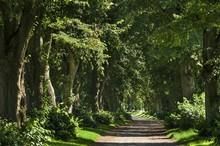 Large-leaved Linden Trees (Tilia Platyphyllos), Mecklenburg-Western Pomerania, Germany, Europe