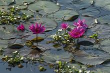 Lotus Flowers (Nelumbo), Vemba...