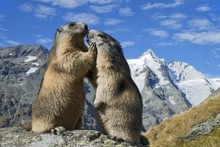 Alpine Marmots (Marmota Marmot...