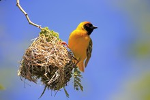 Southern Masked Weaver (Ploceus Velatus), Adult, Male, At Nest, Tswalu Game Reserve, Kalahari Desert, South Africa, Africa