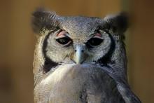 Verreaux's Eagle-Owl (Bubo Lacteus), Adult, Western Cape, South Africa, Africa