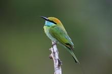 Green Bee-eater (Merops Orientalis Ceylonicus), Adult, Sitting On A Branch, On The Lookout, Bundala National Park, Sri Lanka, Asia