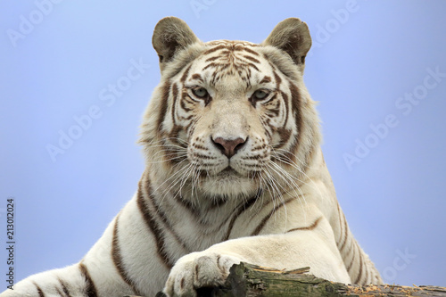 Bengal Tiger (Panthera tigris tigris), white form, adult, native in Asia, captive, England, United Kingdom, Europe