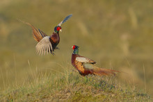 Fighting Male Pheasants (Phasi...