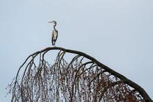 Grey Heron (Ardea Cinerea) On A Tree, Hesse, Germany, Europe
