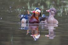 Mandarin Ducks (Aix Galericulata), Couple, Courting, Hesse, Germany, Europe