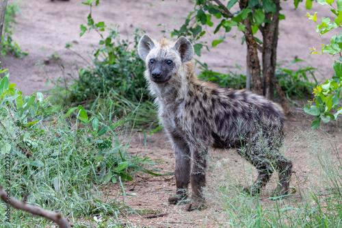 Foto op Aluminium Hyena Hyena Cub