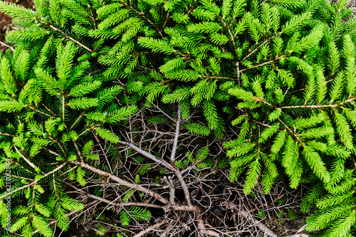 Bush young spruce. The view from the top. Fototapeta