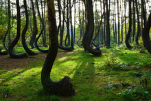A Unique Curved Forest In Grif...