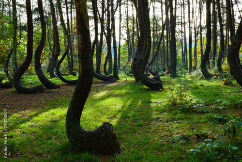 A unique curved forest in Griffin. Poland Canvas-taulu