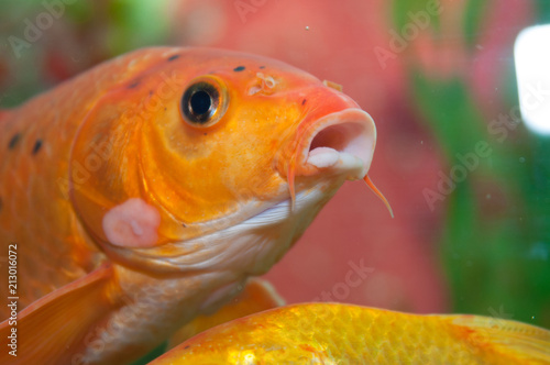 gold fish looking out of the tank