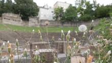 Dandelion (Taraxacum Officinal...