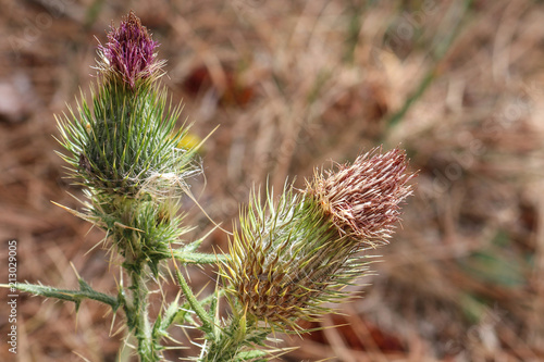 Fotografie, Obraz  close-up detail of spent and drying scotch thistles with shallow depth of field