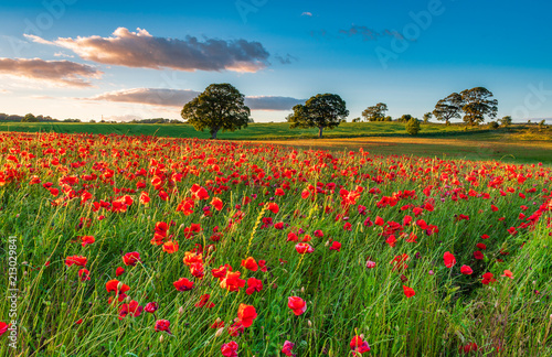 Poster Poppy Field of Red Poppies / A poppy field full of red poppies in summer near Corbridge in Northumberland