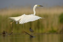 Great Egret (Ardea Alba), Displaying, Hovering Over The Water, Kiskunsag National Park, Southeastern Hungary, Hungary, Europe